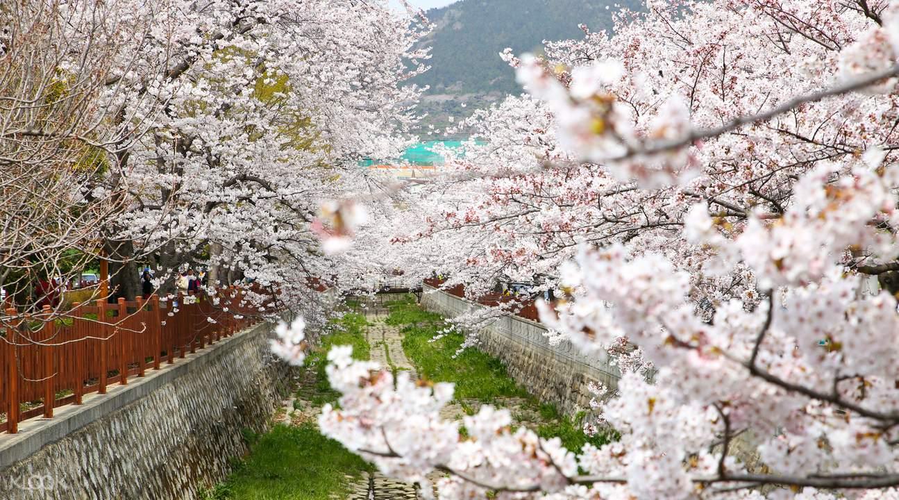 每年春天,这里盛开著无数余佐川樱花,粉白相间,随风摇曳,犹如下起了